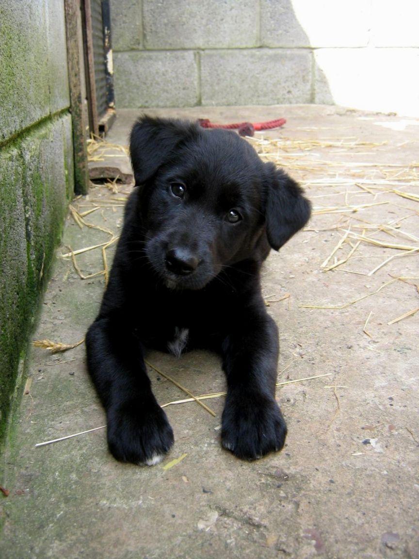 Black Lab Border Collie Mix Puppies Puppies, Border