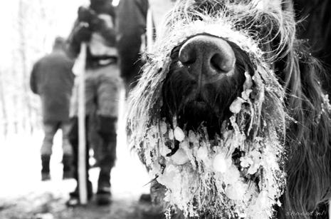 Dog with ice beard, hunting day  | Merel Klijzing  | www.shooot.nl
