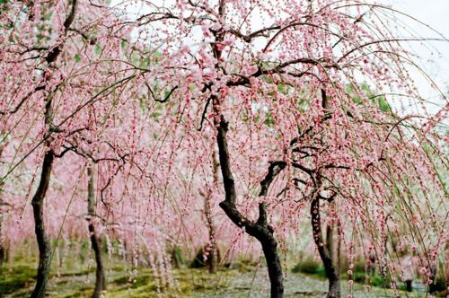 Patterson Maker Pink Flowering Trees Blossom Trees Cherry Blossom Tree