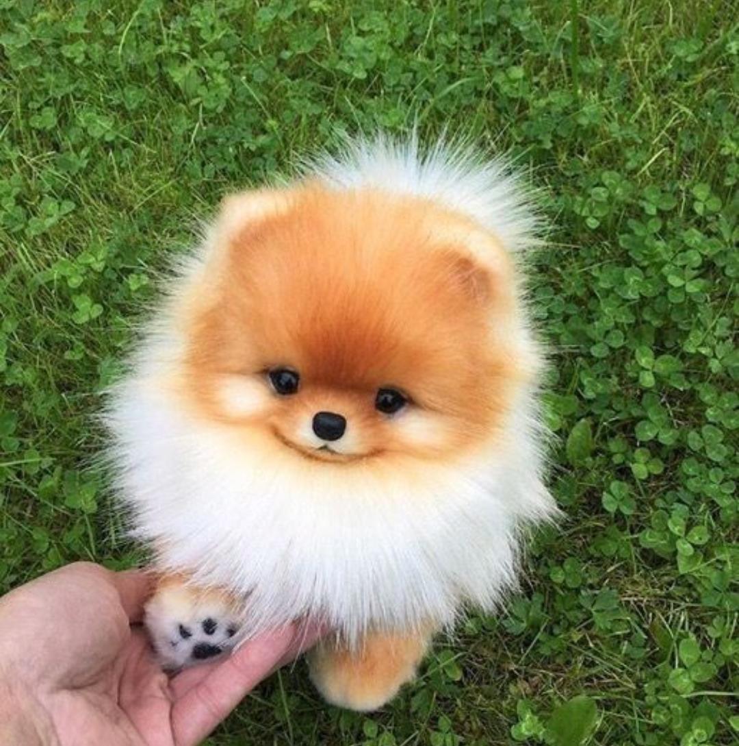 Baby pomeranian puppy!