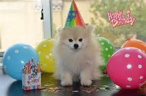 Happy Pomeranium Happy Birthday Dog Happy Birthday Dog Meme Dog Birthday