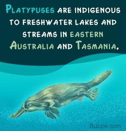 Fact About Platypus Habitat Platypus Australian Animals Animal Projects