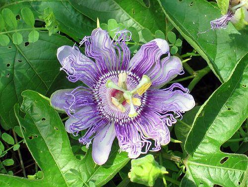 Passiflora Passion Flowers Purple Passion Flower Passion Flower Passion Flower Tea
