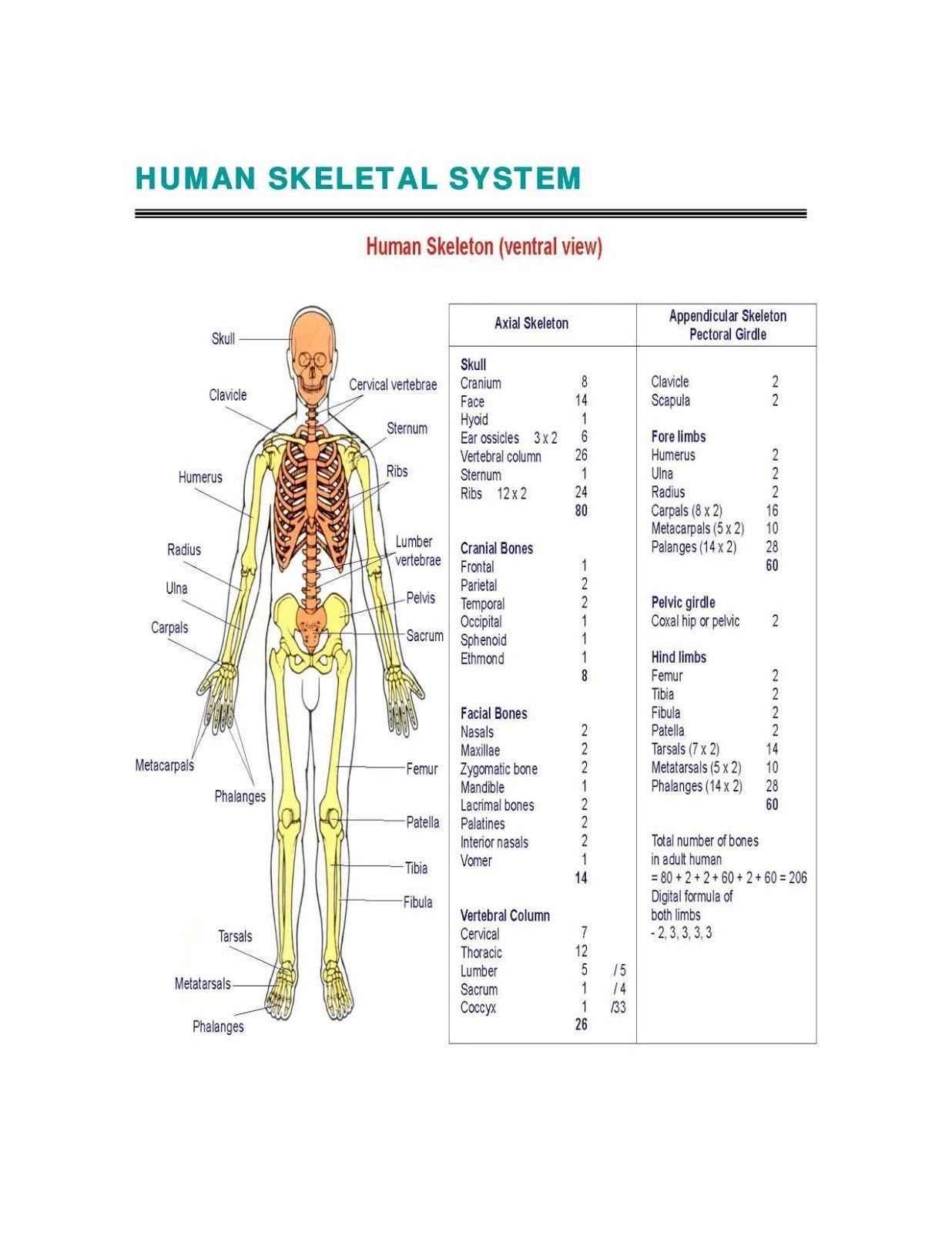 Appendicular Skeleton Worksheet Answers In