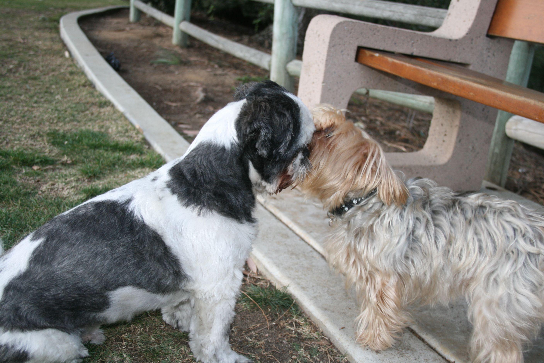 Rocky Shih Tzu Decaro His Girl Lulu Share A Birthday Kiss