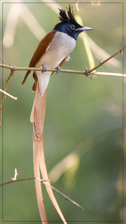Asian Paradise Flycatcher - Buscar con Google