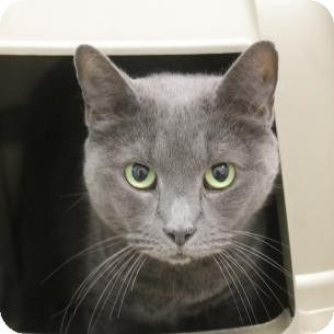 Russian Blue Cat For Adoption In Salem Massachusetts Chia Russian Blue Cat Russian Blue Cat Adoption