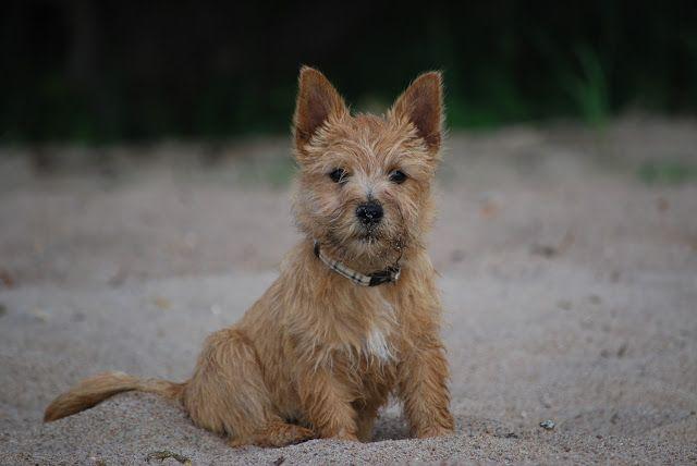 Our Norwichterrier Puppy Myran 5 Months Norwich Terrier