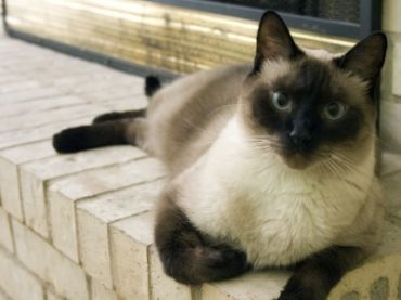 Siamese Cat Breeds Balinese Cat Fancy Cats