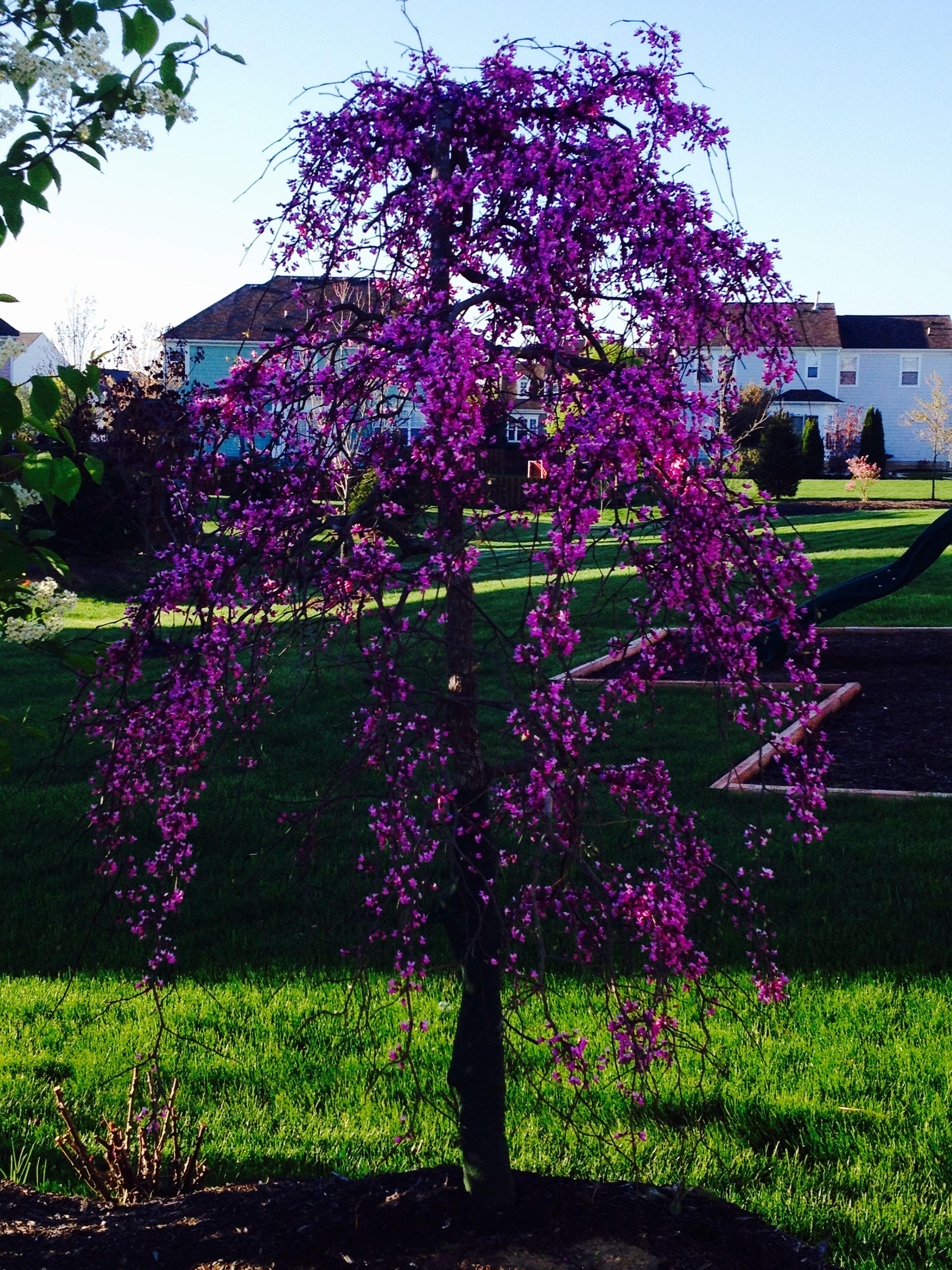 Weeping Redbud In Bloom Landscaping Weeping Trees