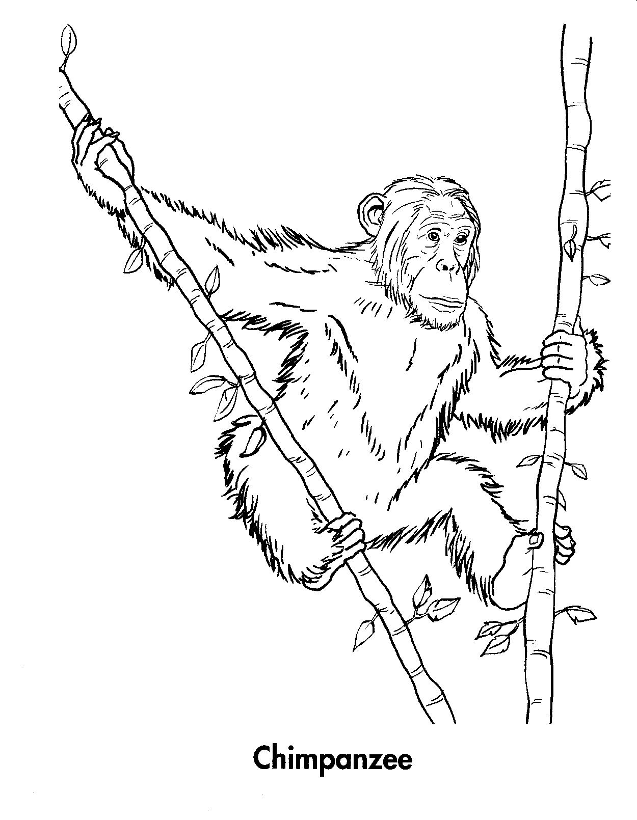 Free Printable Chimpanzee Coloring Pages For Kids | Coloring pages ...