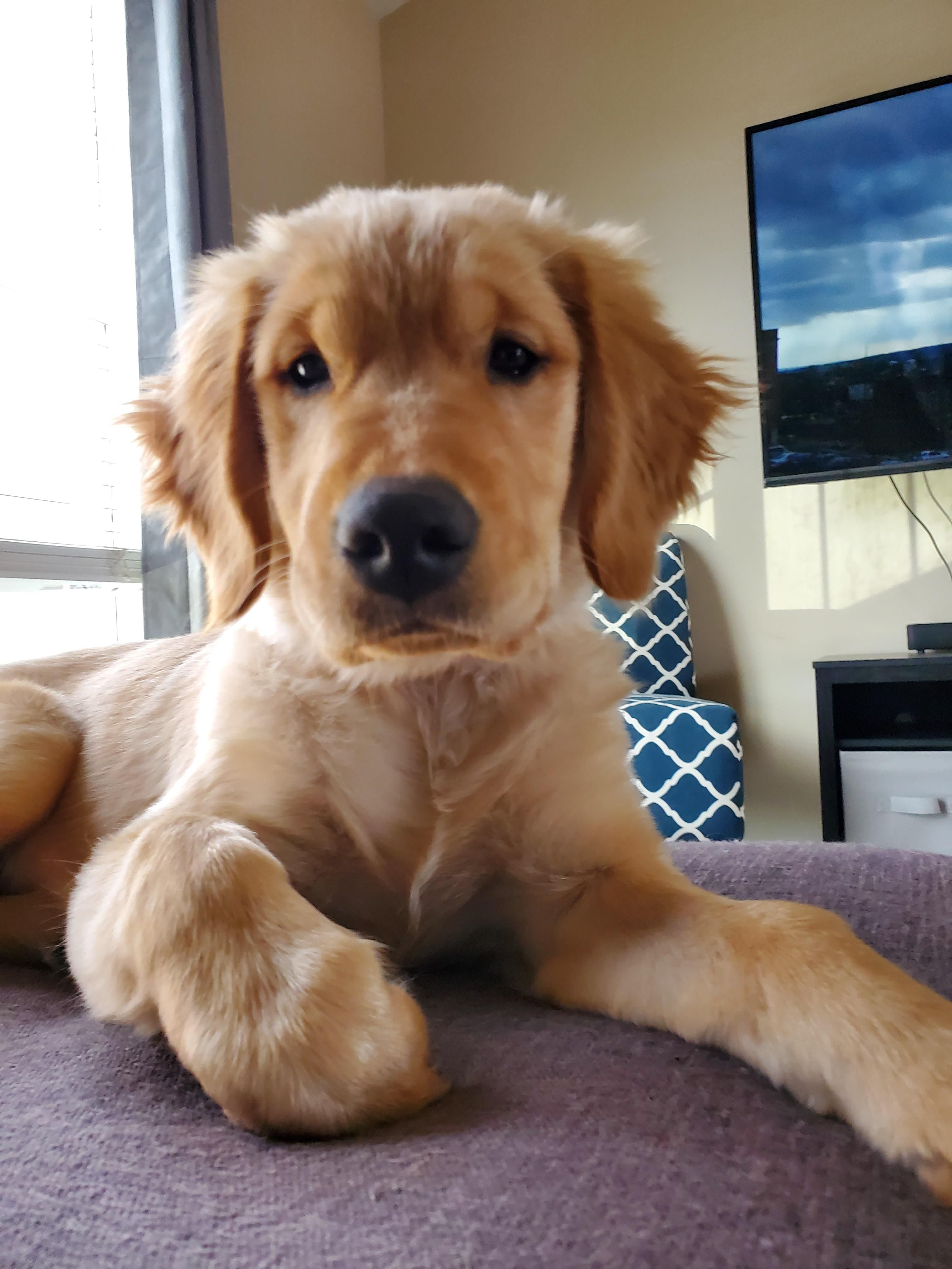 What Do You Mean You Got Another Puppy Finley In 2020 Cute Dogs And Puppies Cute Puppy Pictures Golden Retriever