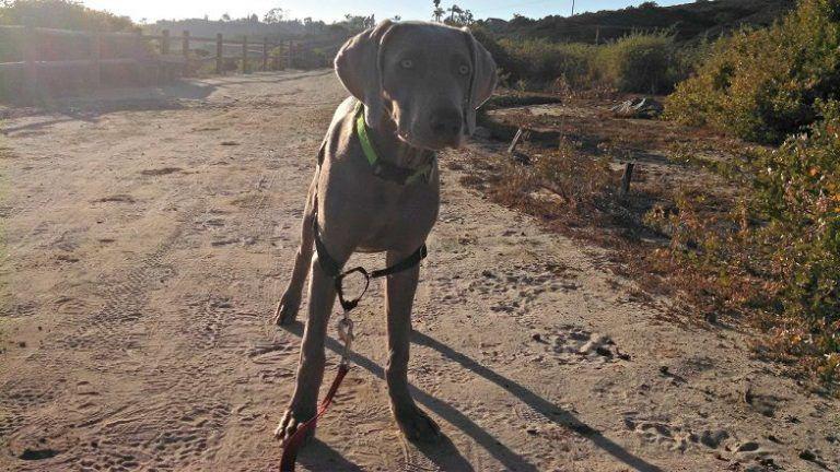 Gentle Leader Vs Prong Collar Vs Easy Walk Harness That Mutt