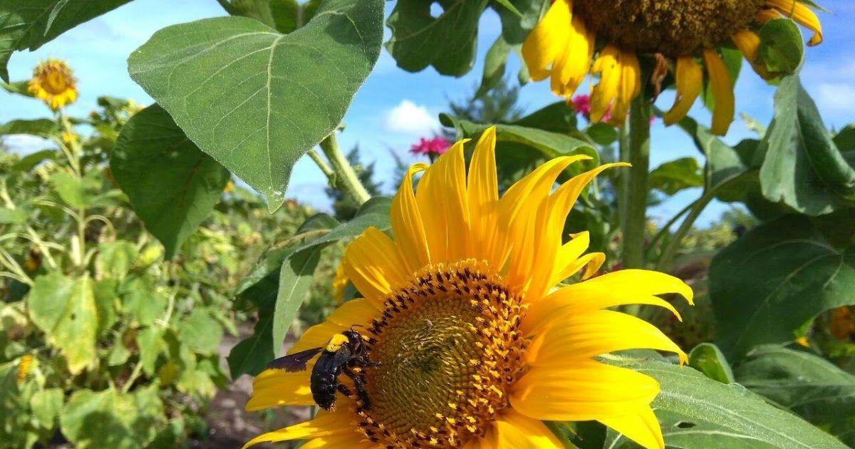 Taman Bunga Matahari Di Yogya