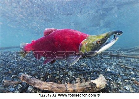"""""""Underwater view of a male Sockeye Salmon in Power Creek near Cordova, Southcentral Alaska"""" View Large Photo Image"""
