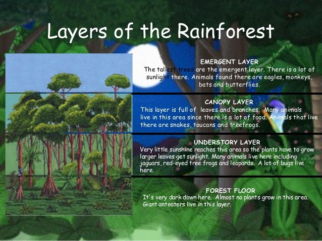 Layers Of The Rainforest Emergent Layer The Tallest Trees Are The