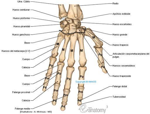 Huesos del miembro superior - Pesquisa Google | huesos de la mano ...