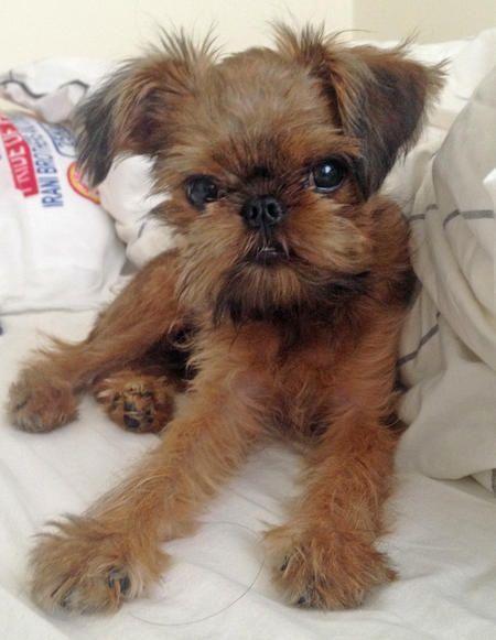 Mini Chewbacca Dog Breed