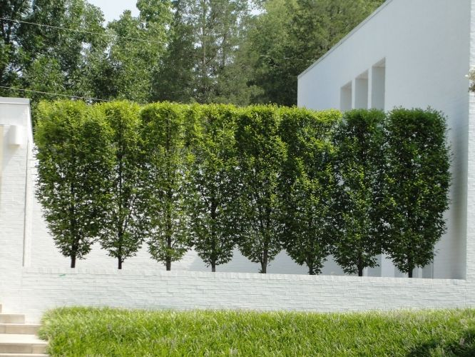 Hornbeam Frans Fontaine Carpinus Bet Frans Fontaine The Frans Fontaine Is A Narrower And More Co Landscape Design Privacy Landscaping Backyard Landscaping