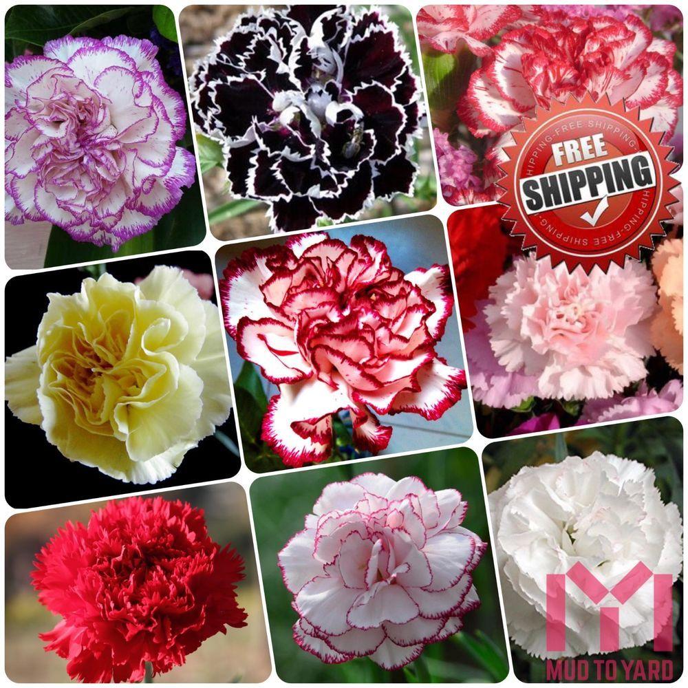 100pcs Carnation Seeds Perennial Flower Dianthus Caryophyllus Clove Pink Seed Carnation Plants Flower Seeds Flowers