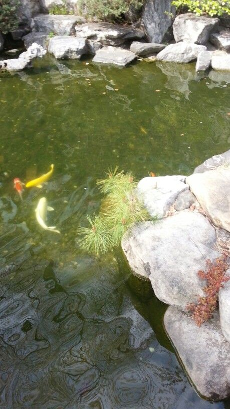 연못의 잉어 carps in a pond