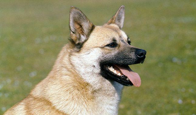 Norwegian Buhund Dog Breed Information Shepherd Dog Breeds Dog Breeds English Sheepdog Dog