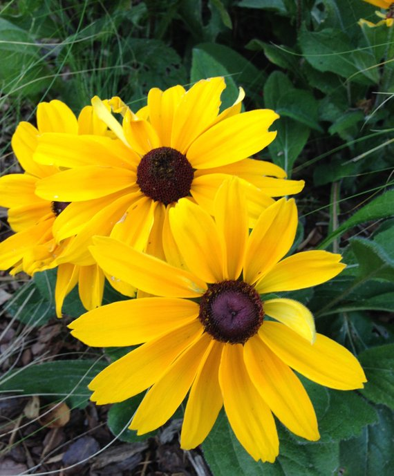 Indian Summer Black Eye Susan Seeds, Rudbeckia hirta, Gloriosa Daisy