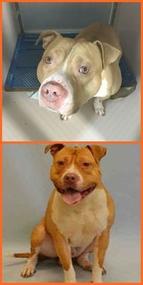 KILLED 5/15/2016  (silent kill)  --- Manhattan Center STATIS – A1070516  ***DOH HOLD – B 04/16/16***  MALE, TAN / WHITE, AM PIT BULL TER MIX, 6 yrs OWNER SUR – ONHOLDHERE, HOLD FOR DOH-B Reason BITEPEOPLE Intake condition EXAM REQ Intake Date 04/16/2016 http://nycdogs.urgentpodr.org/statis-a1070516/