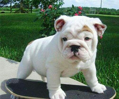 Skate Board Baby Bully American Bulldog Puppies Bulldog