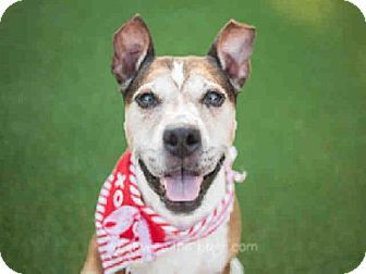 Raleigh, NC Boxer Mix. Meet LADY, a dog for adoption