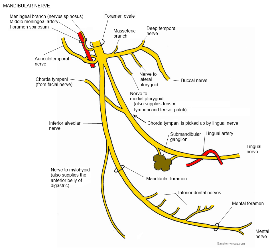 Course of the MANDIBULAR branch of the Trigeminal Nerve | Muscle ...