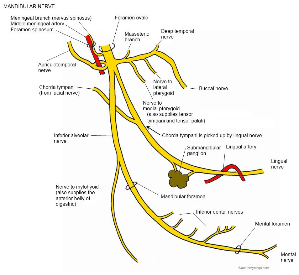 Image showing nerves that pass through foramen ovale, mandibular ...