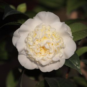 Plantfiles Pictures Common Camellia Japanese Camellia Pink Perfection Camellia Japonica 8 By Jaxflagardener Shade Flowers Pretty Flowers Flower Garden