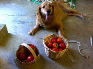 dogs and tomatoes