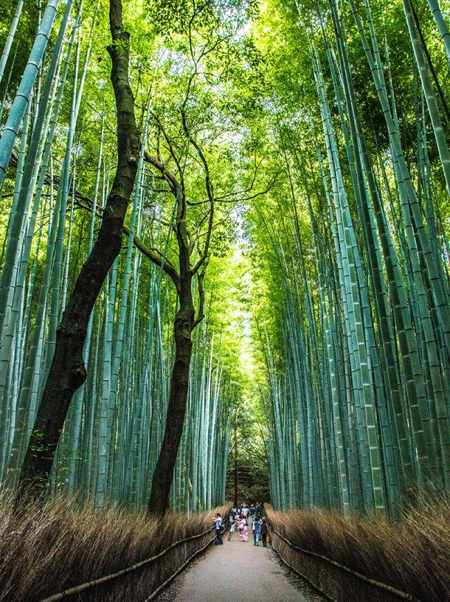 The amazing Arashyama Bamboo forest Kyoto. One of the many sights in Japan. So many reasons to travel.
