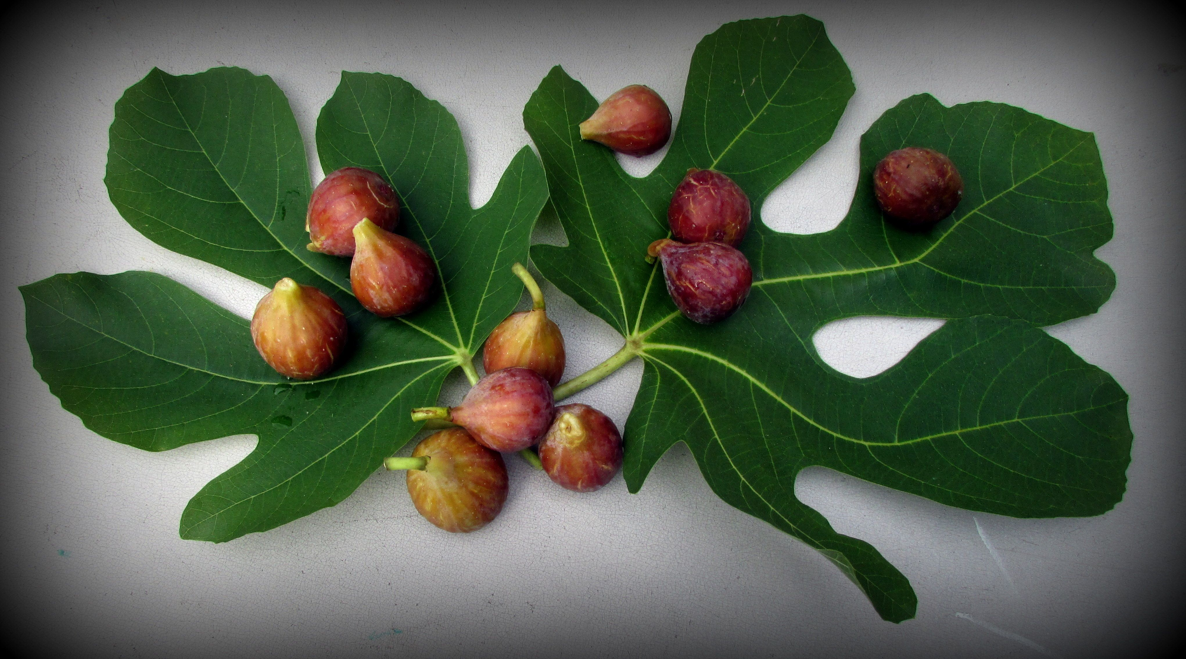 Fig Time (and the terroir we call home) http://www.foodshedplanet.com/2013/08/happiness-is_11.html