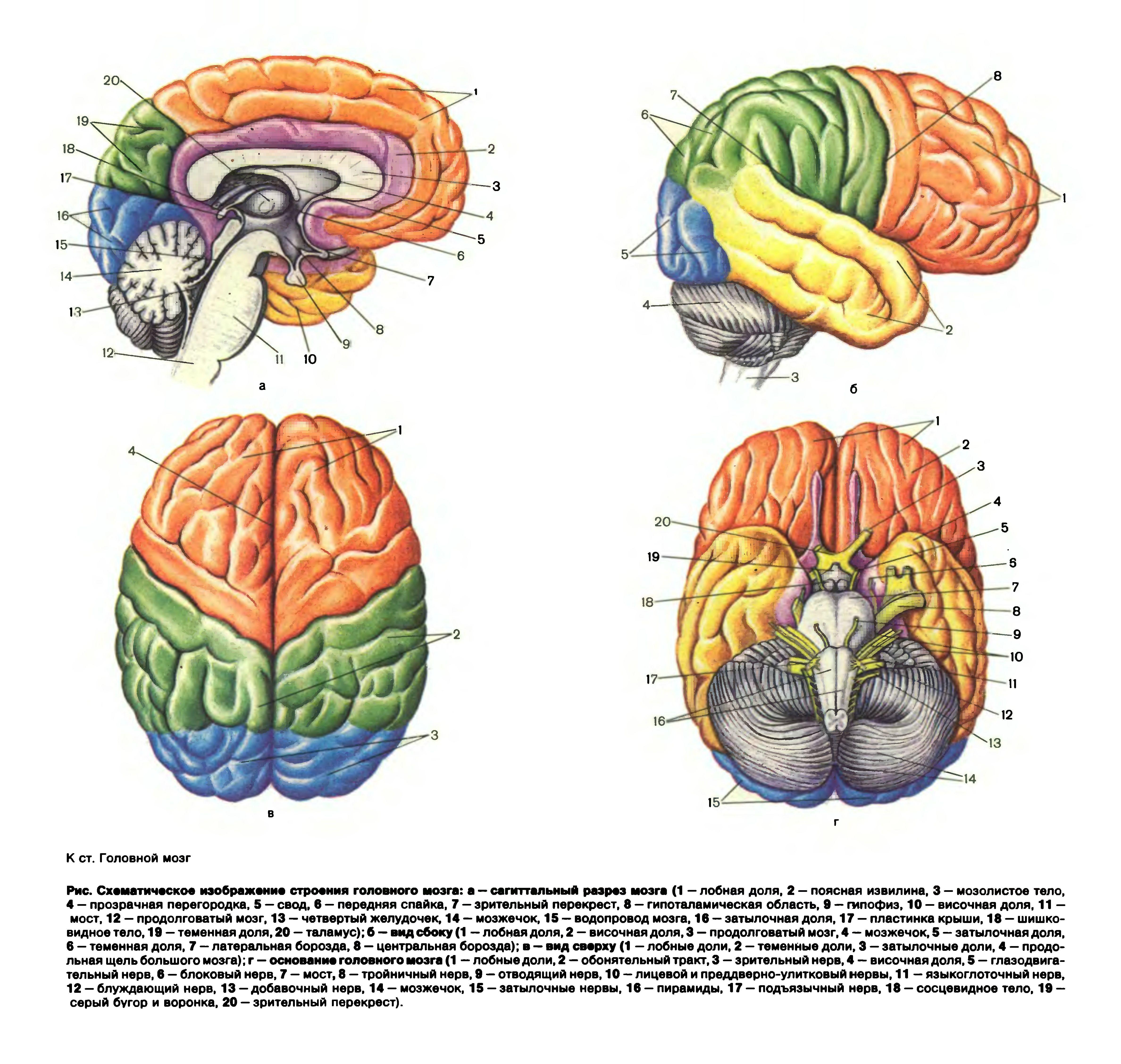 Мозг человека в картинках с надписями