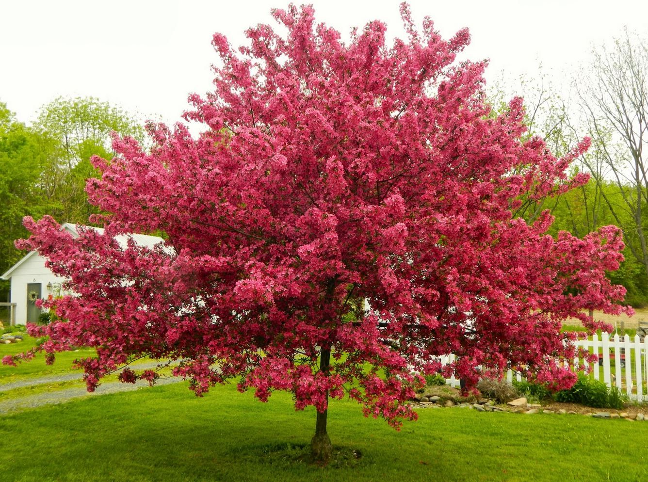 Ornamental trees images galleries for Tiny ornamental trees