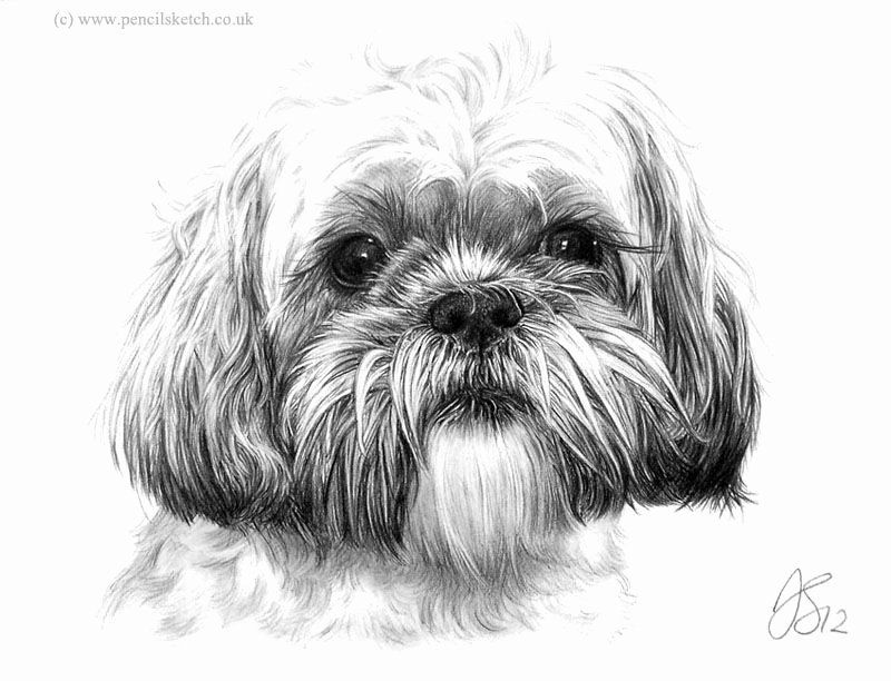 Shih Tzu Coloring Page Fresh Shih Tzu Imperial Coloring Pages Print Coloring Dog Pencil Drawing Animal Drawings Dog Drawing