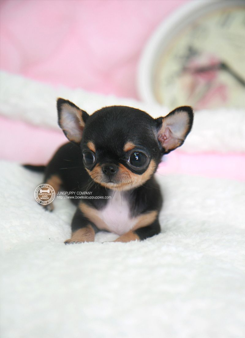 Bowpup Teacup Puppy For Micro Chihuahua