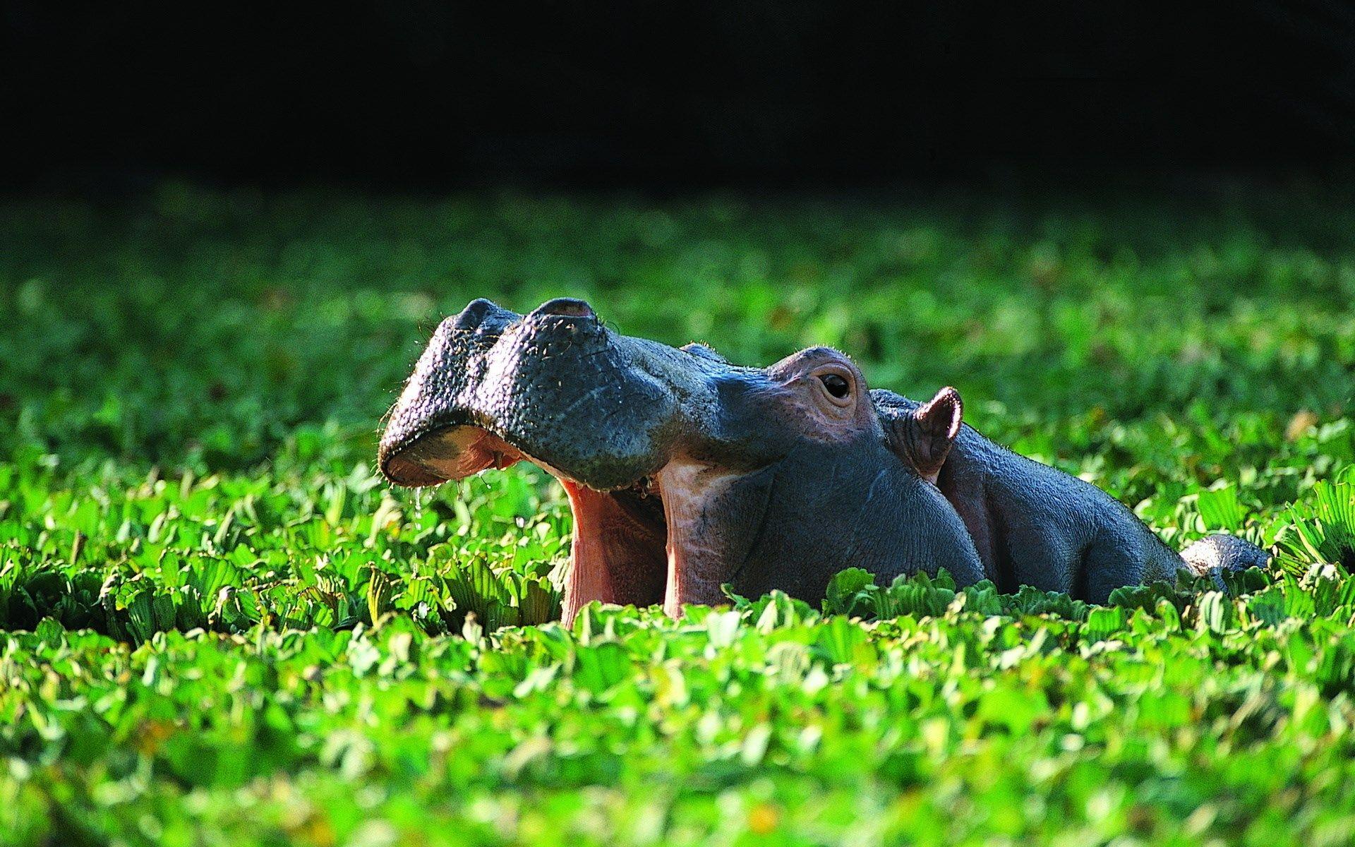 1426181 Images For Desktop Hippo Wallpaper Hippopotamus Animals Animal Wallpaper
