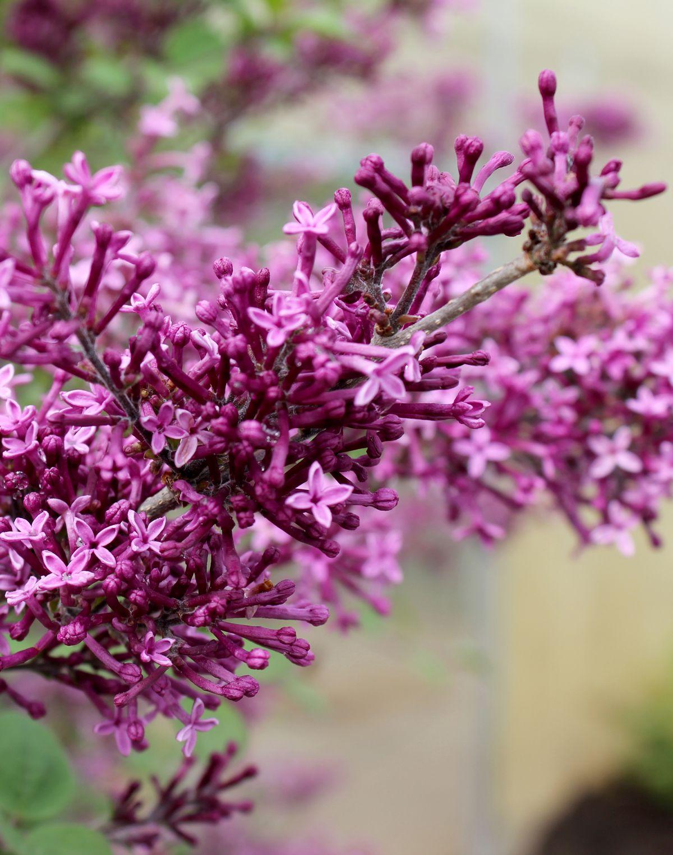 Bloomerang Dark Purple Reblooming Lilac Syringa X Lilac Bushes Fragrant Plant Lilac Varieties
