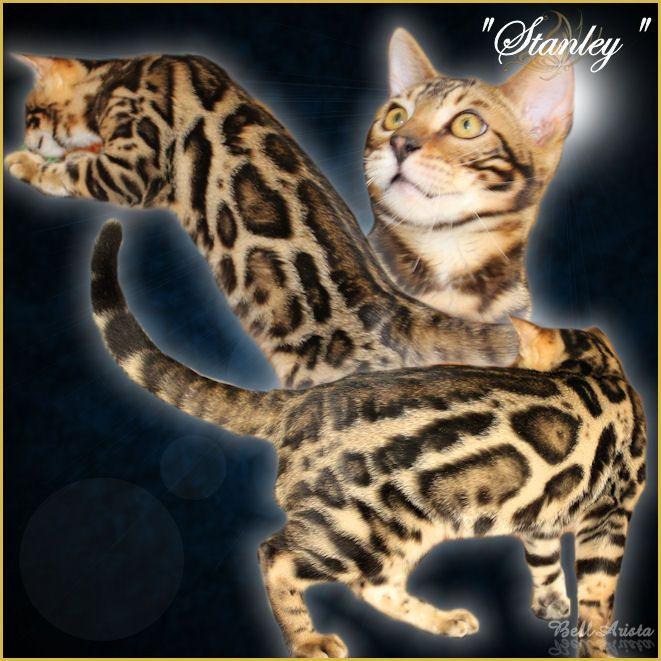Bengal Cat Breeder Amp Kittens For Sale In Florida Bellarista