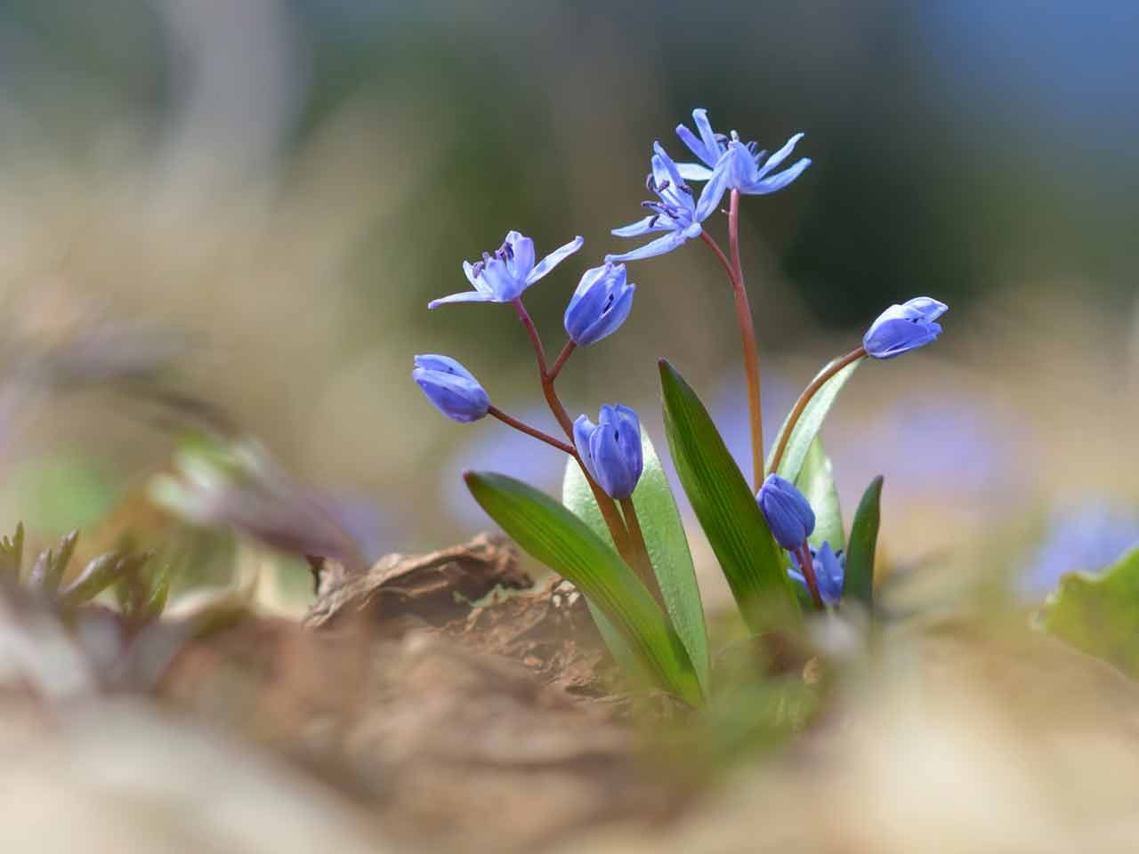 Scilla auntie dogma s garden spot - Scilla How To Grow Little Blue Bulbs So Lovely In Spring