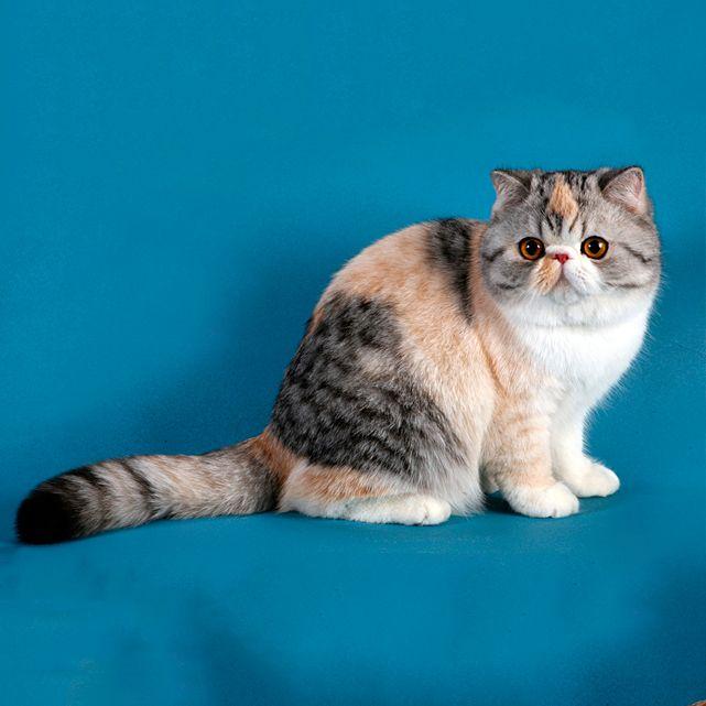 Экзотическая короткошерстная кошка Экзотическая