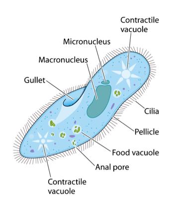 Reproduccion asexual en paramecium