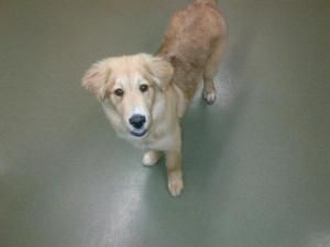 Toby Is An Adoptable Golden Retriever Dog In Toronto On Toby Is