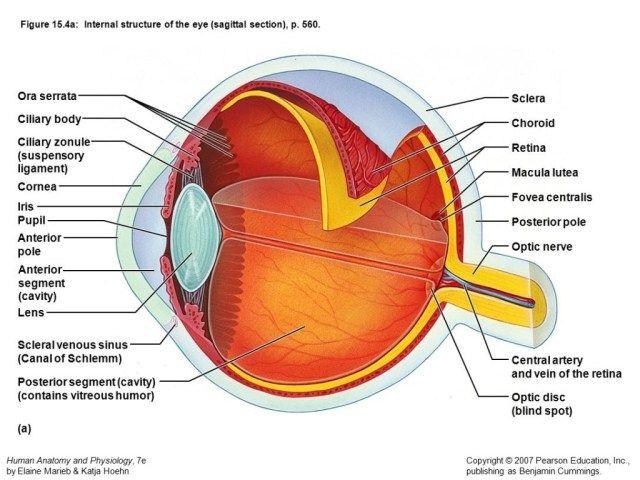 Human Anatomy Eye Diagram Koibana Info Diagram Of The Eye Eye Anatomy Diagram Lasik
