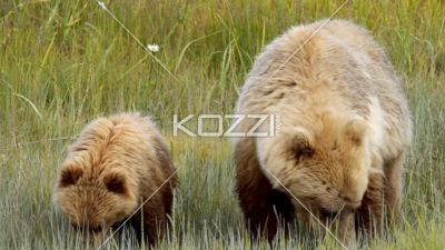 baby brown bear with mother. - Video of baby bear with mother eating grass in Alaska