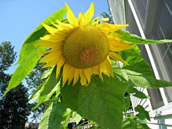 Plant mammoth sunflower seeds now, and you could have this giant sunflower by August!